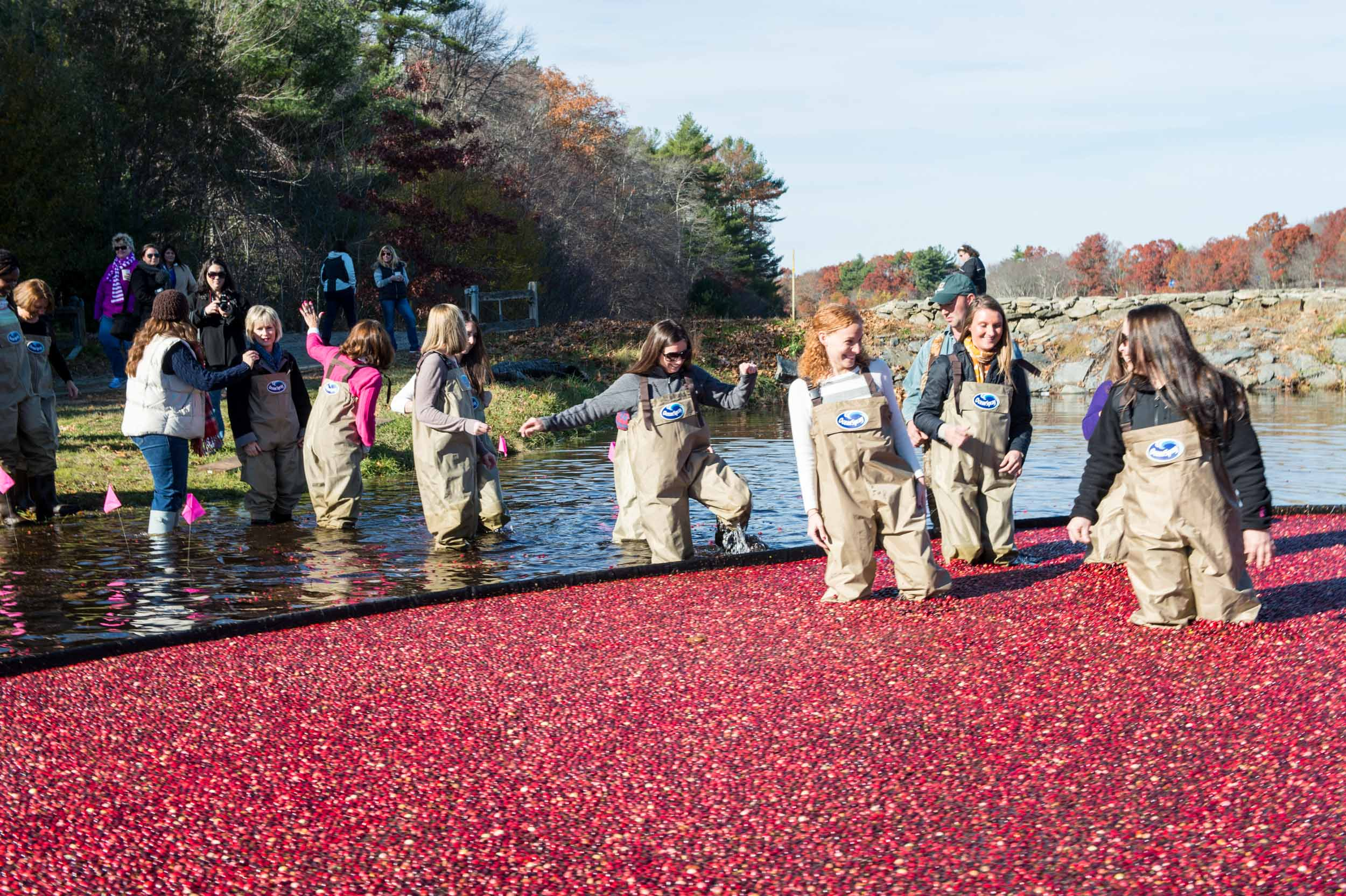 Maura Wayman Photography, Photography, Corporate Photography,Massachusetts, Boston, Metro West, events, Corporate events, Photographer, Functions, Parties, Fundraisers, Ocean Spray, Bogs, cranberries, cranberry, waders, walking in a bog, Corproate Team building, fruit, red, harvest, boom, water,