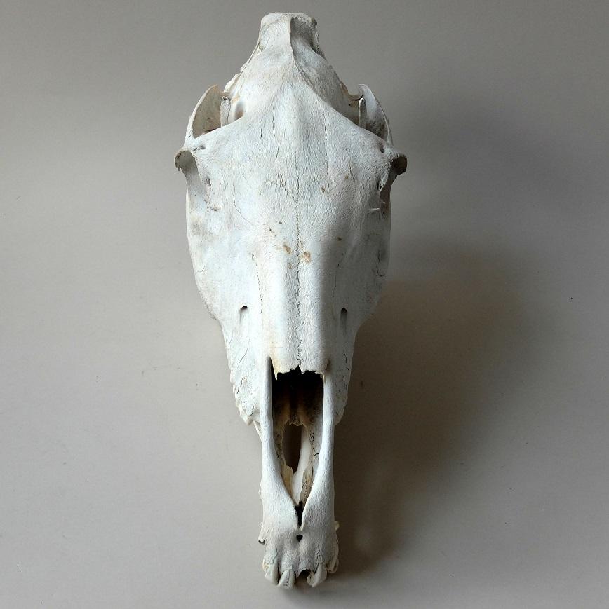 horse-skull-3.jpg