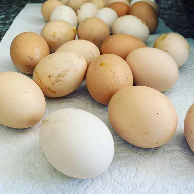 All our eggs!!!! Our chickens lay like crazy during the summer. They live the heat. I do not. :). @chiptooth #backyardchickens #spottedhencatering