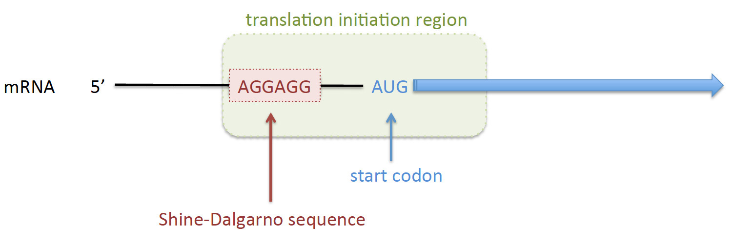 Figure 1. The TIR (green box) includes the SD sequence, the AUG start codon and the 5' end of the coding sequence. The sequence of the TIR directly influences the efficiency of translation initiation.  Adapted from Reeve et al, Frontiers Bioeng. Biotech. 2014