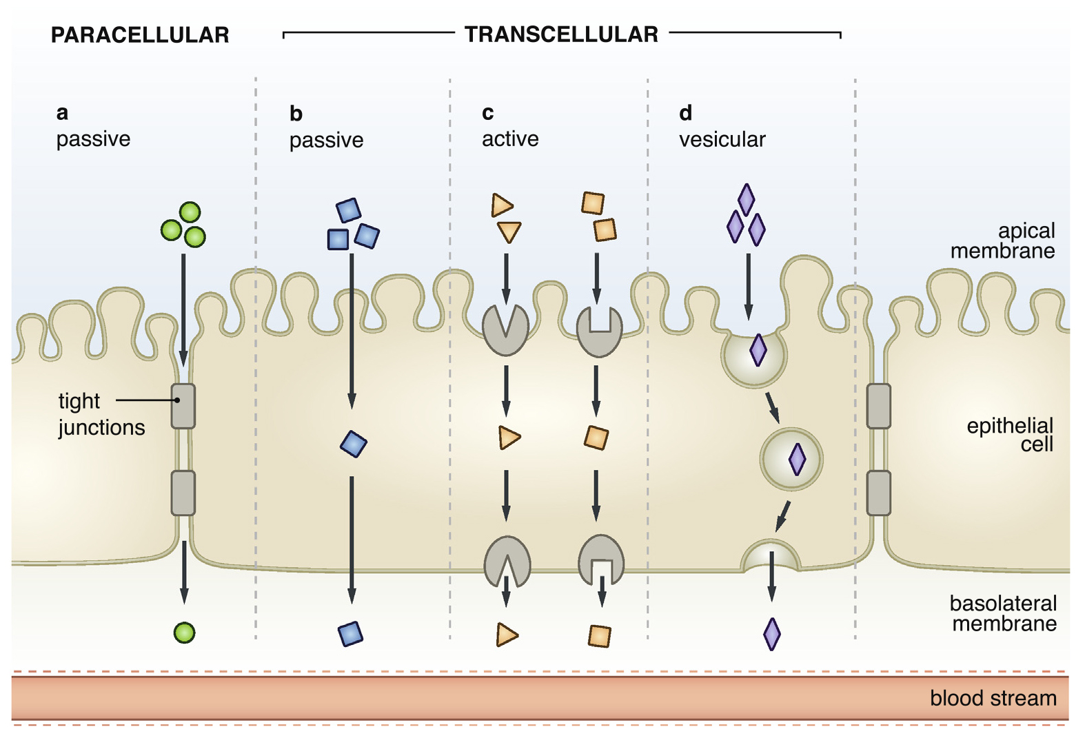 cell_transport_illustration.png