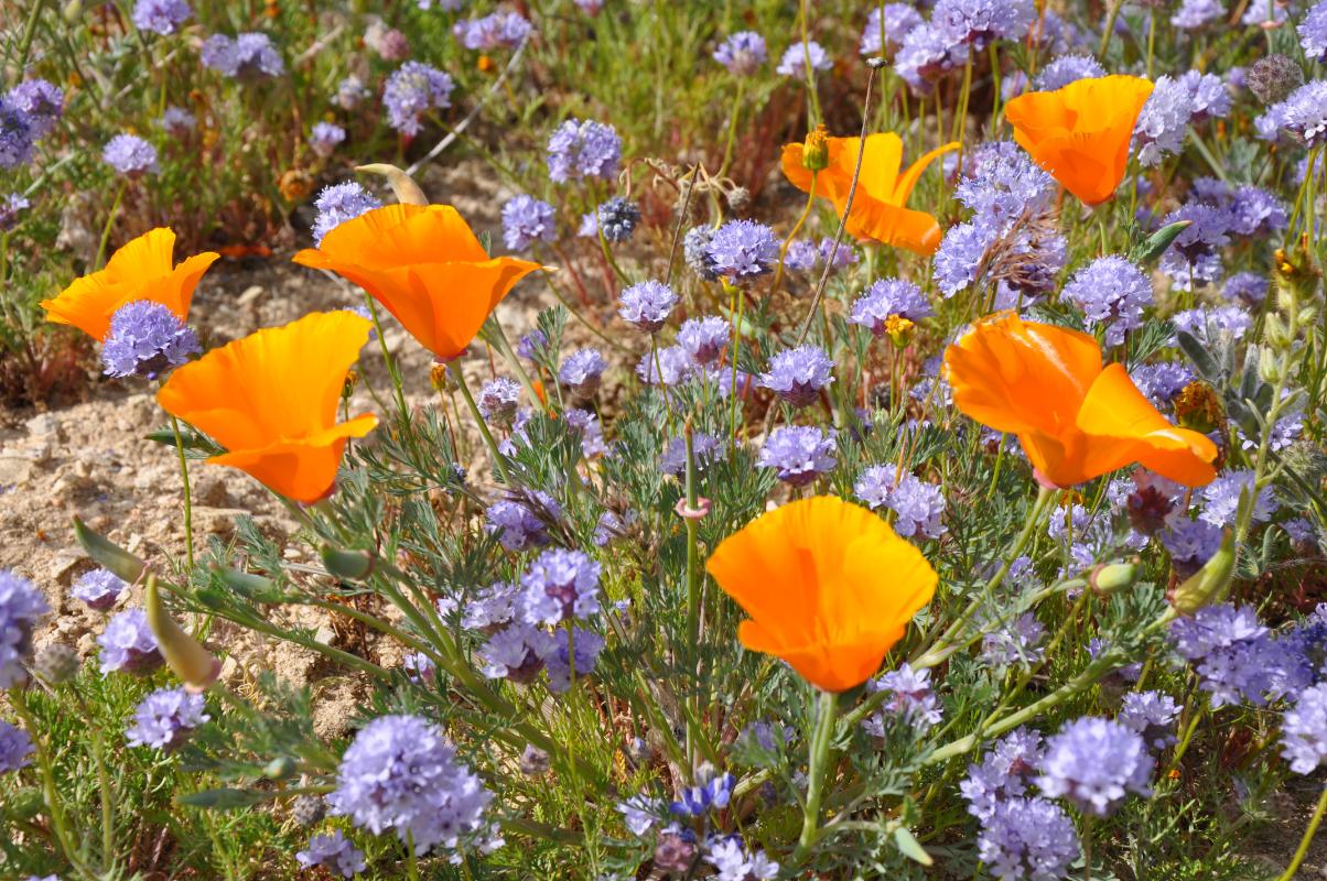 Wildflowers near Gorman