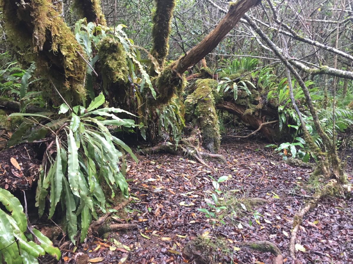Kulapuhi-trail-stagg-ferns-kauai.jpg