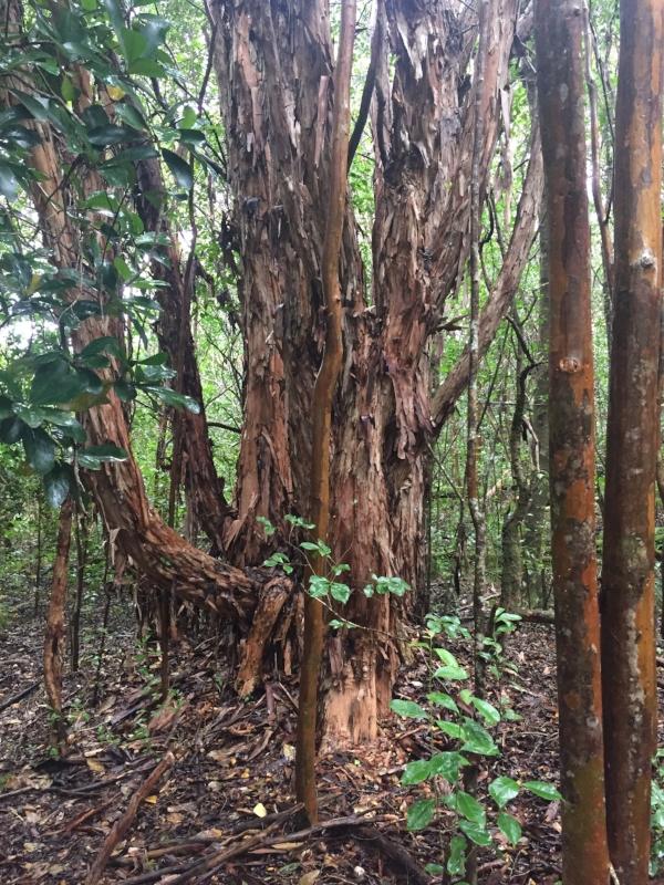 Kulapuhi-Trail-trees-shedding-bark.JPG