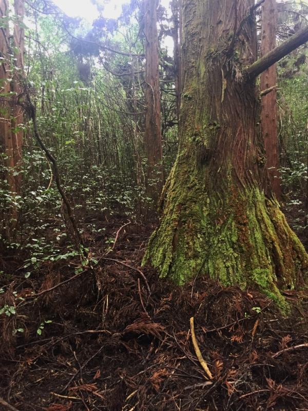 Kulapuhi-Trail-tree-moss.JPG
