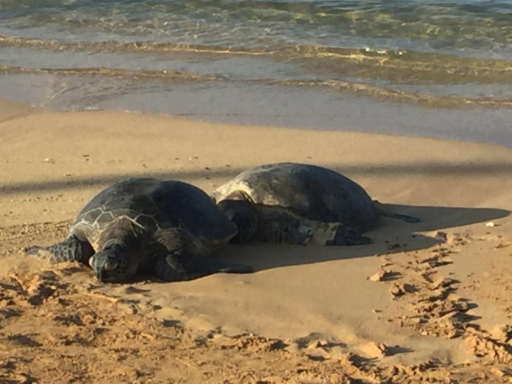 sleeping-sea-turtles-kauai.jpg