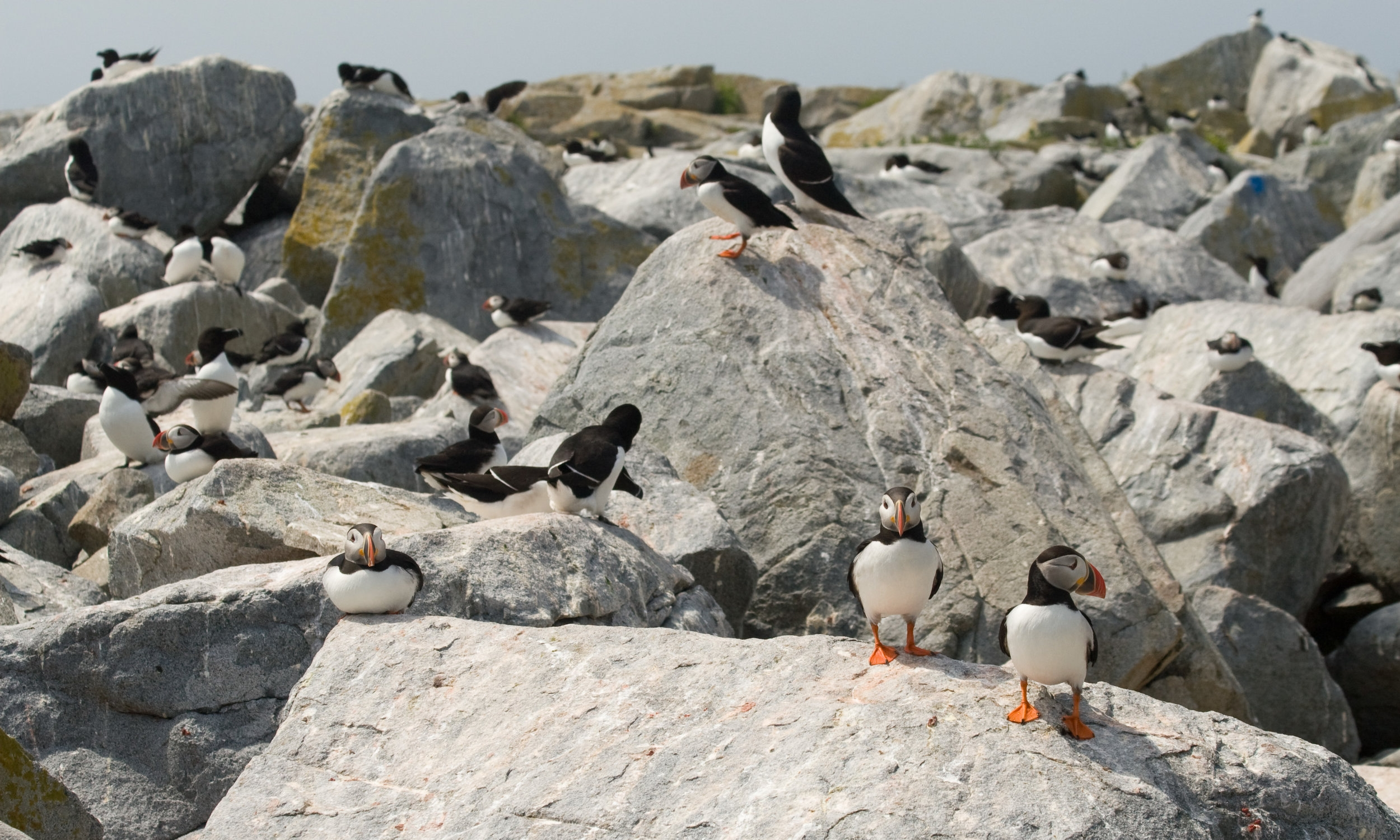 Puffins and Razorbills share the rocky shores of Machias Seal Island.