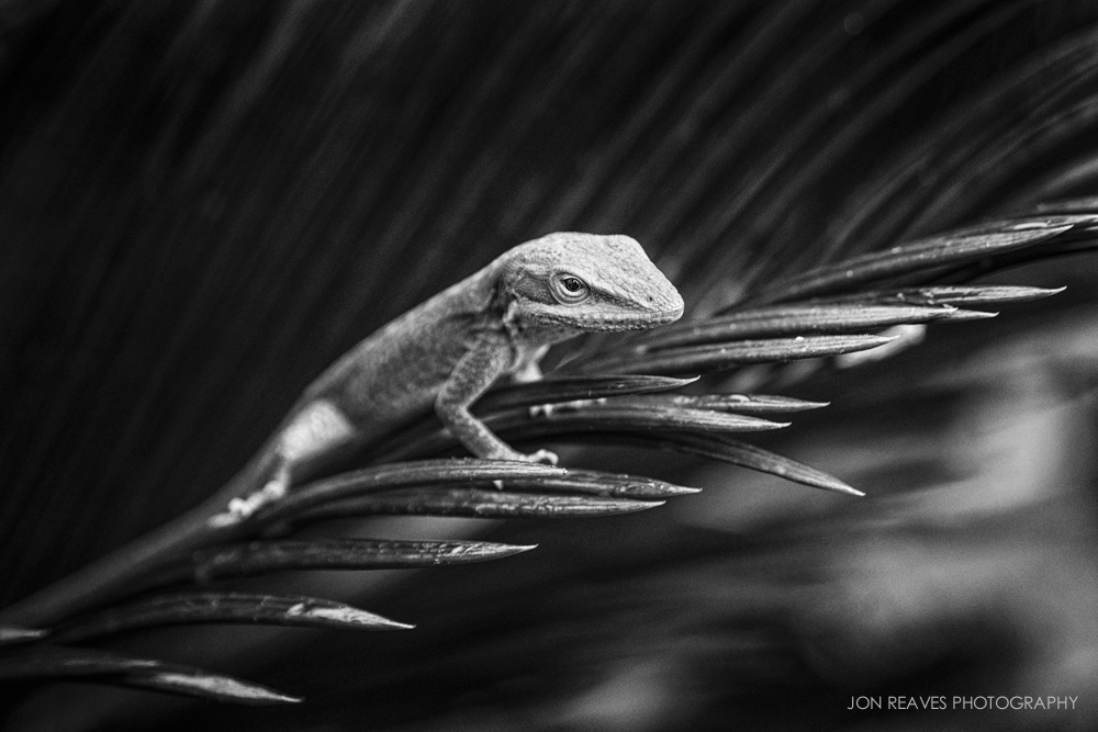 Carolina Anole (Nikon D600, Nikon 28-105mm AF-D, macro switch on, 105mm, f6.3, 1/320 sec, ISO 1000, hand held)