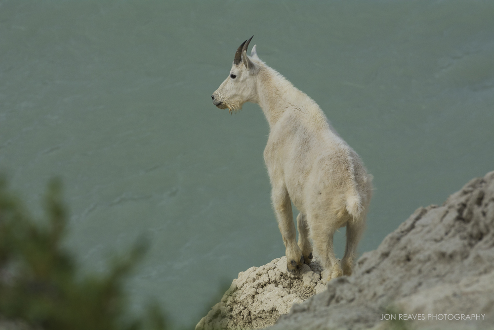 Mountain Goat on a Cliff Overlooking the Athabasca River, Jasper National Park