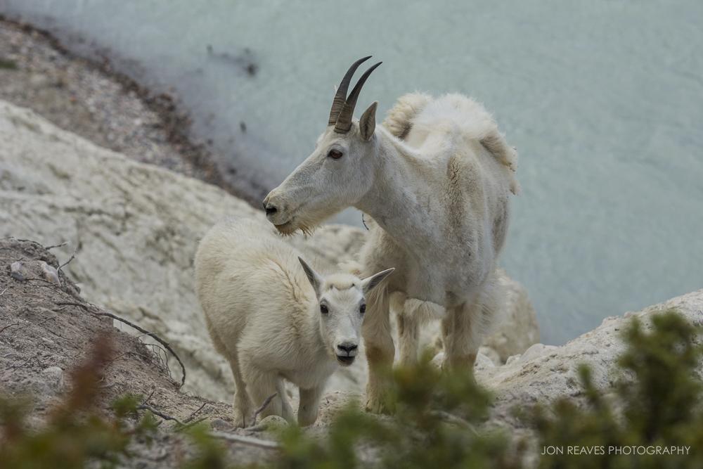 Mountain Goat nanny and Kid, Jasper National Park
