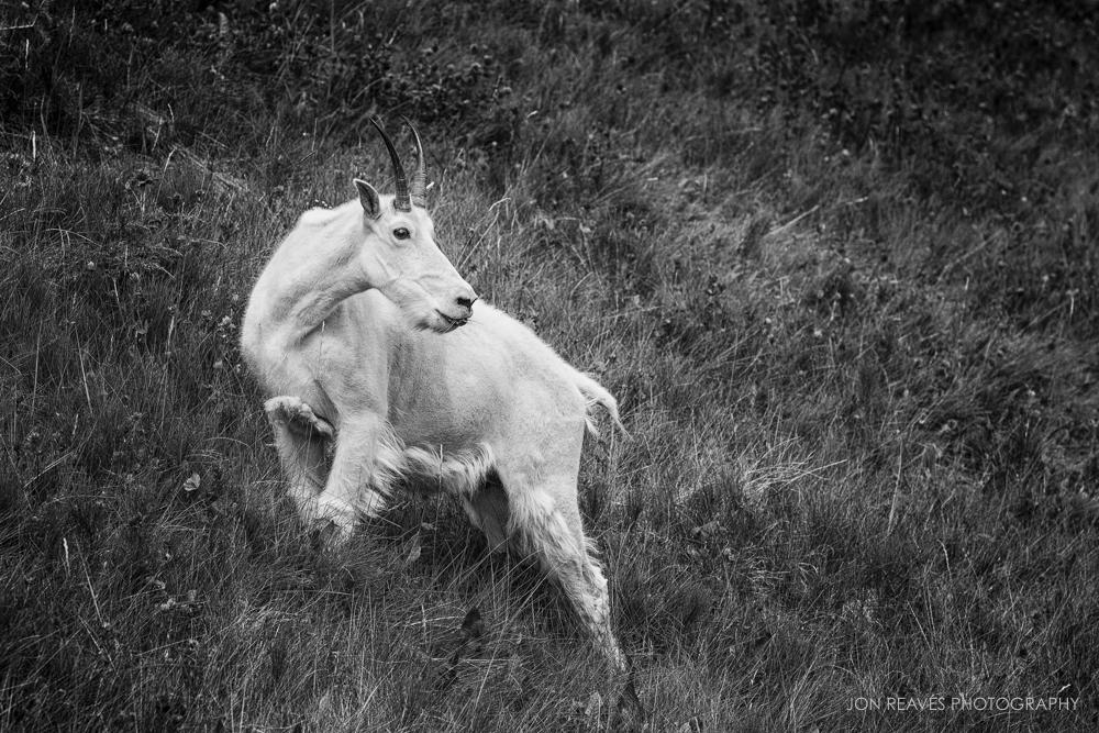 Mountain Goat B&W, Jasper NP