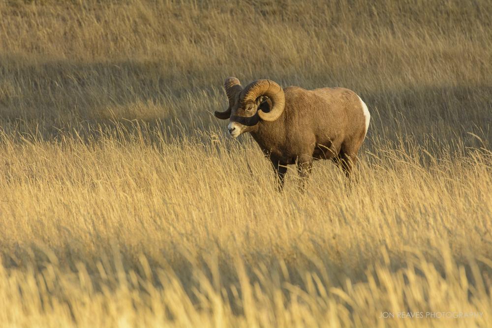 Bighorn Ram, Jasper National Park, Canada