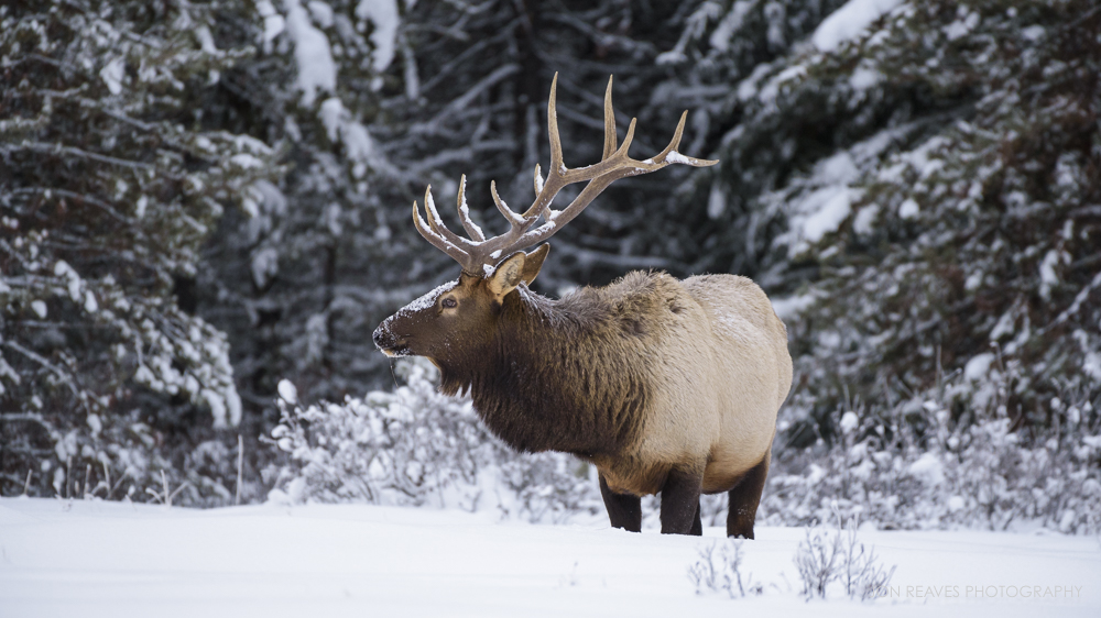 Elk in snow, Banff National Park