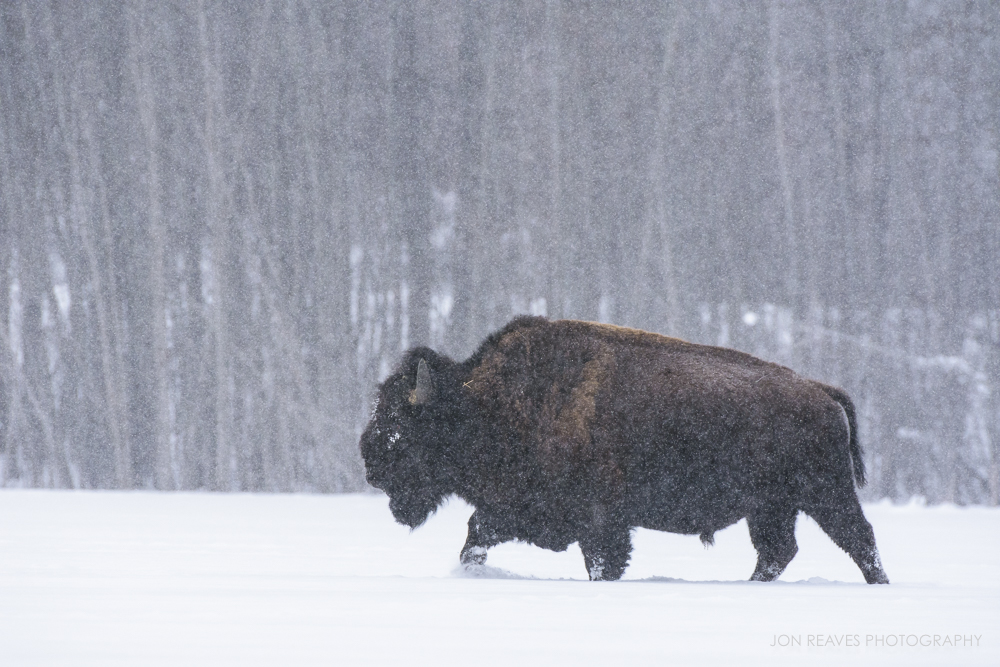 Bison crossing a snow-covered lake in a heavy snow storm, Elk Island National Park (Nikon D7200, 200-500mm VR - 500mm, ISO 640, f8, 1/1000 sec)