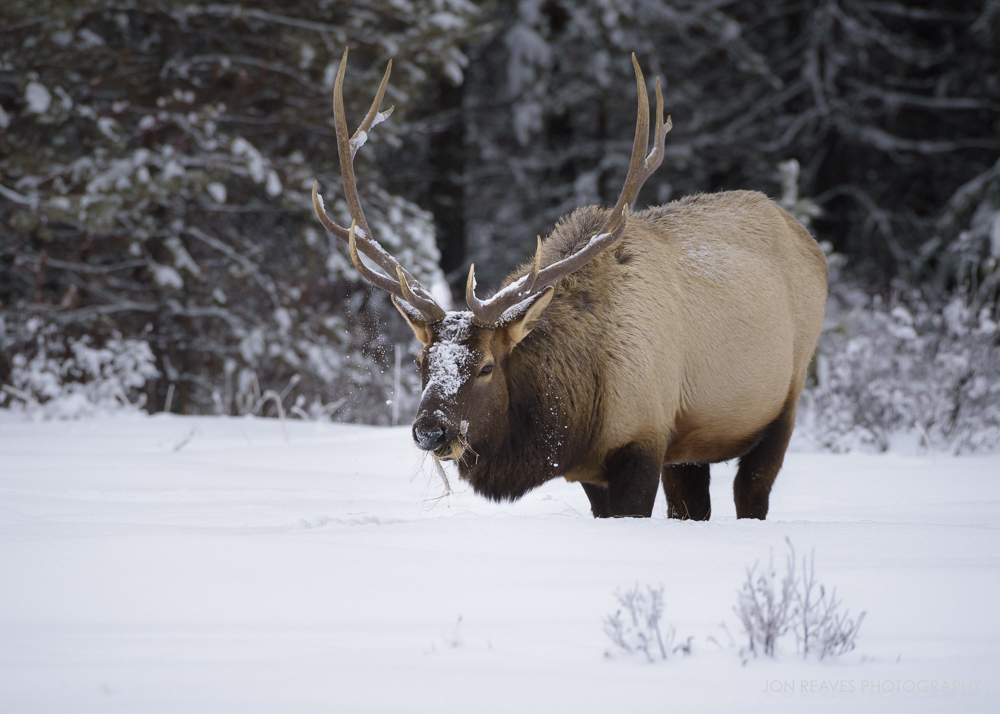 Bull Elk in deep snow, Banff National Park (Nikon D750, 200-500mm VR - 440mm, ISO 1400, f7.1, 1/1250 sec)