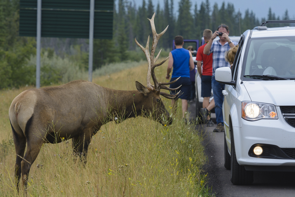 Tourists harassing an elk in Jasper National Park, Summer 2017. I pulled over 30 yards down the road, whipped out my 500mm lens, and had about 30 seconds alone with this elk before about a dozen other cars showed up. At that point I moved on. People should never get this close to wildlife.