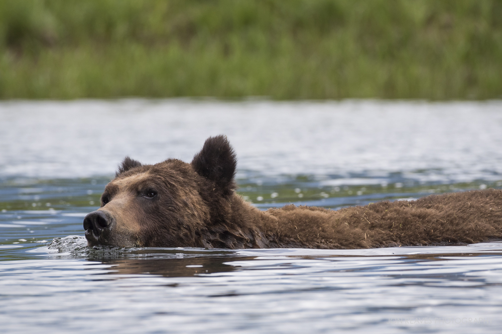 Grizzly swimming in the Khutzeymateen Estuary, Khutzeymateen Provincial Park, British Columbia