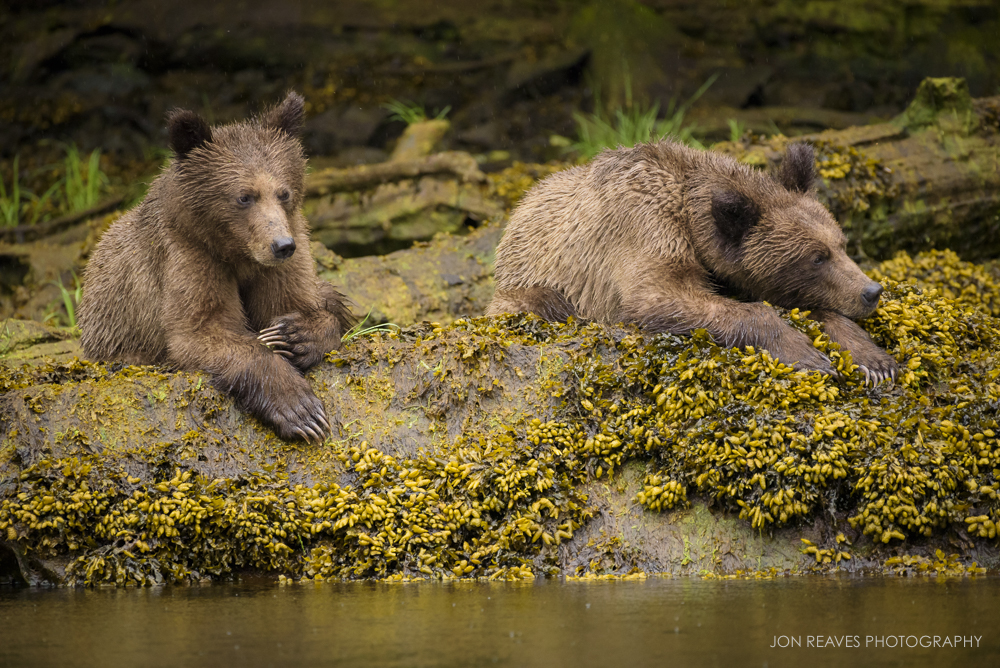Two newly-weened youngsters resting by the inlet during low-tide, Khutzeymateen Provincial Park, British Columbia