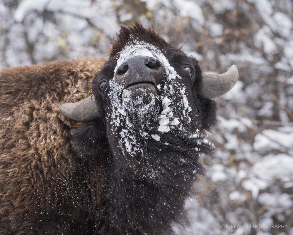 Bison shaking off the snow, Elk Island National Park, Canada