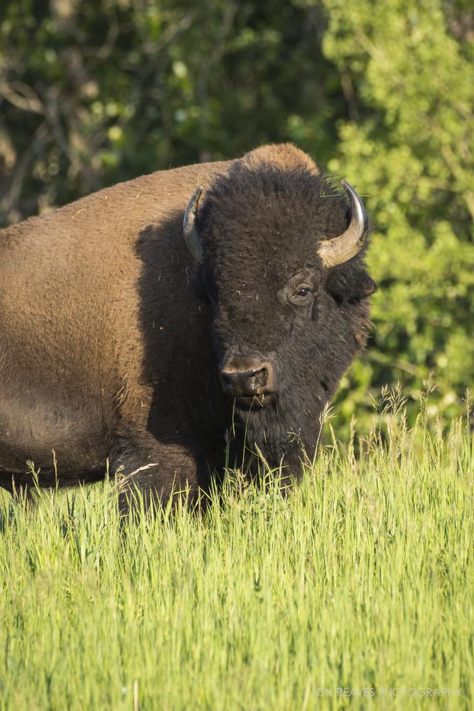 Bison in summer grasses, Elk Island National Park, Canada