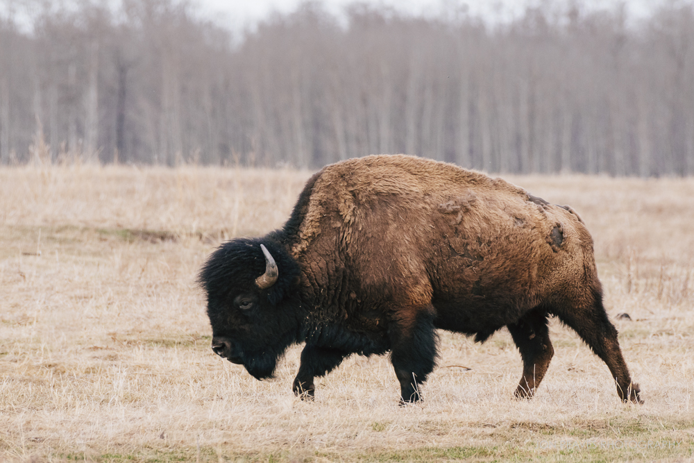 Bison in early spring, Elk Island National Park, Canada