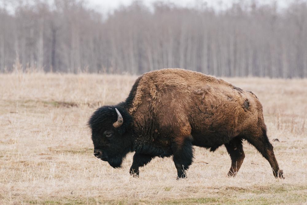 Bison in early spring, Elk Island National Park, Canada