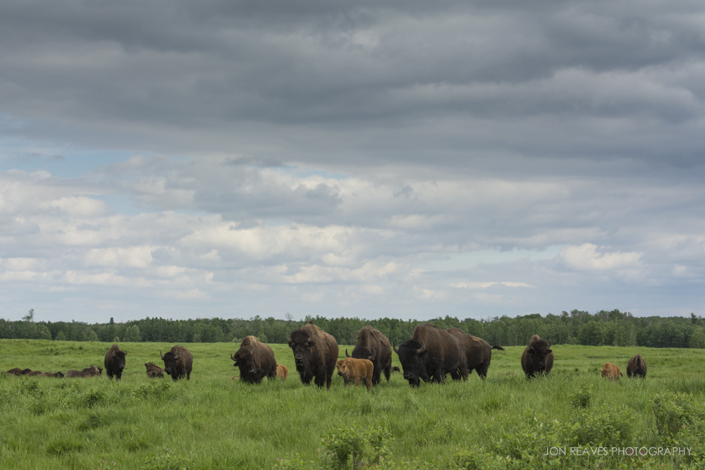 "My first encounter with the plains bison herd in ""the loop."" Elk Island National Park, Canada"