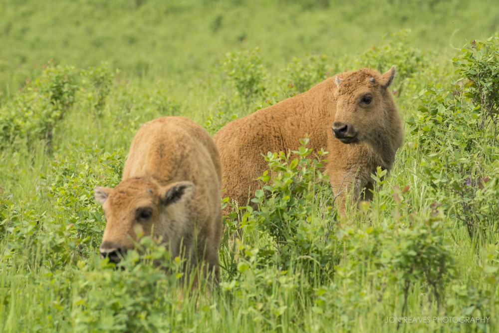 Bison calves in summer coats, Elk Island National Park, Canada