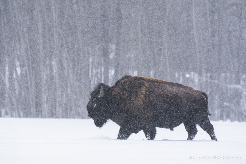 Bison crossing a frozen lake in a snow storm, Elk Island National Park, Canada