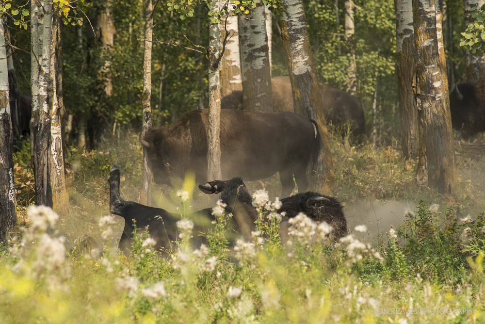 Bison rolling in the dust in Autumn, Elk Island National Park, Canada
