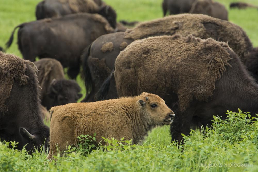 Bison calf, Elk Island National Park, Canada