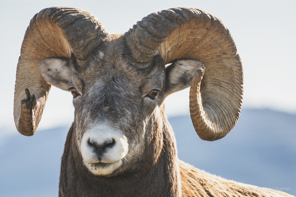 Bighorn Ram portrait, Jasper National Park, 2017. I had dreamed of seeing wildlife like this since I was little, watching Marty Stouffer's  Wild America  on Public Television.