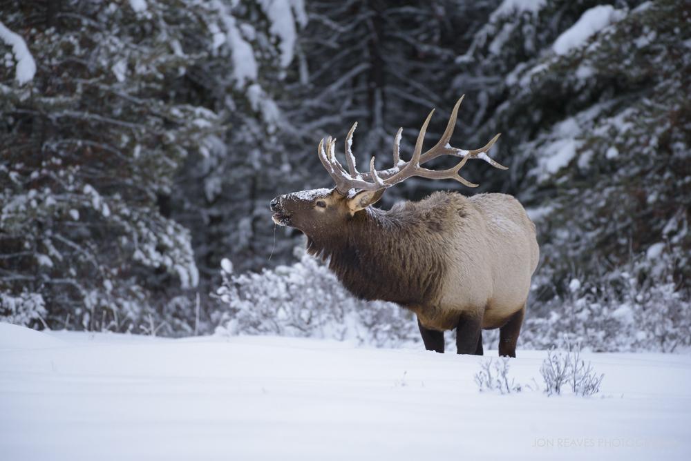 Elk in deep snow, Bow Valley Parkway