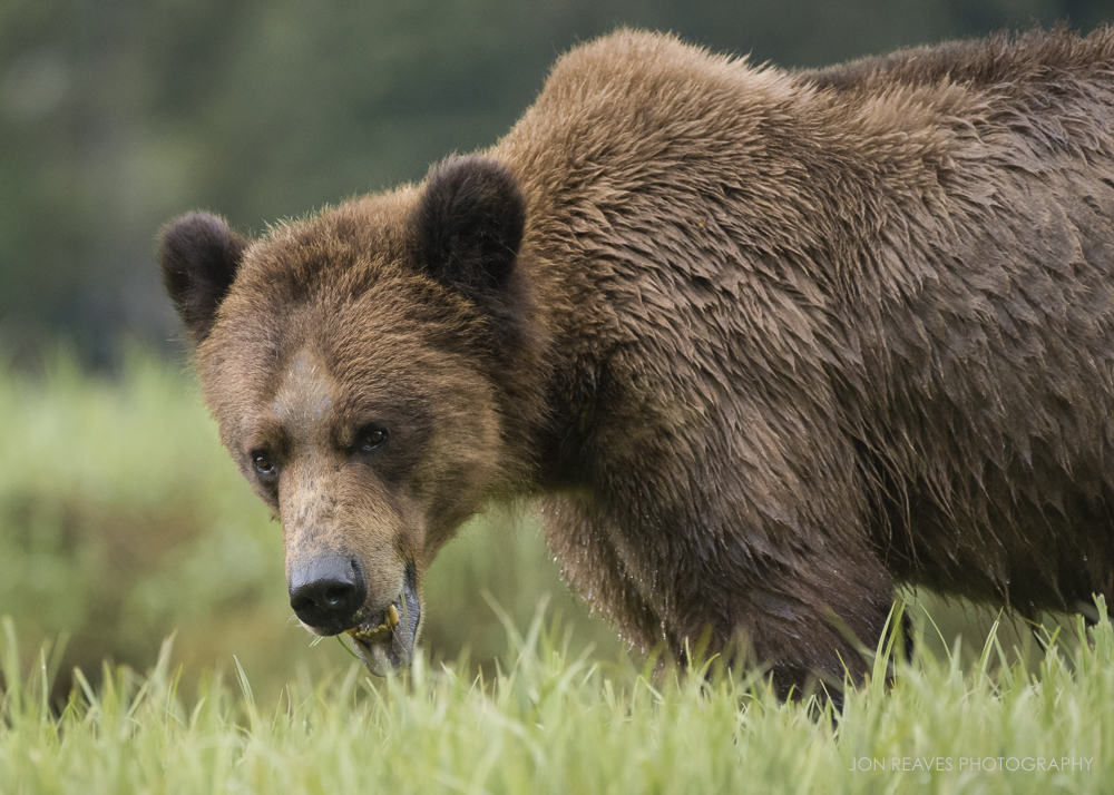 Grizzly eating sedges, Khutzeymateen Inlet, British Columbia, Spring 2018