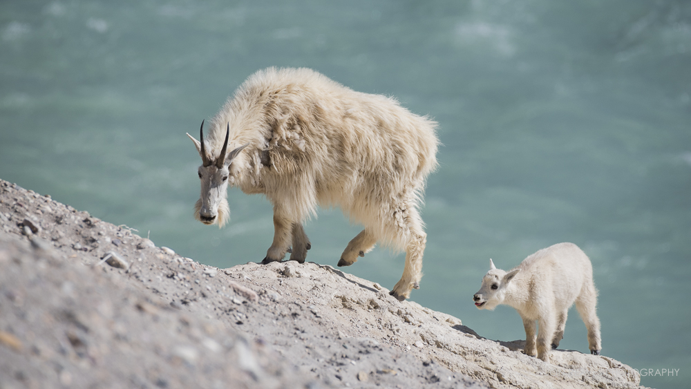 Mountain Goats, Jasper National Park, Alberta, Summer 2018