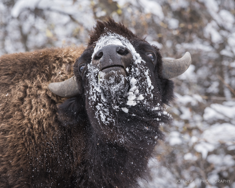 Bison shaking off snow, Elk Island National park, Alberta, Fall 2018
