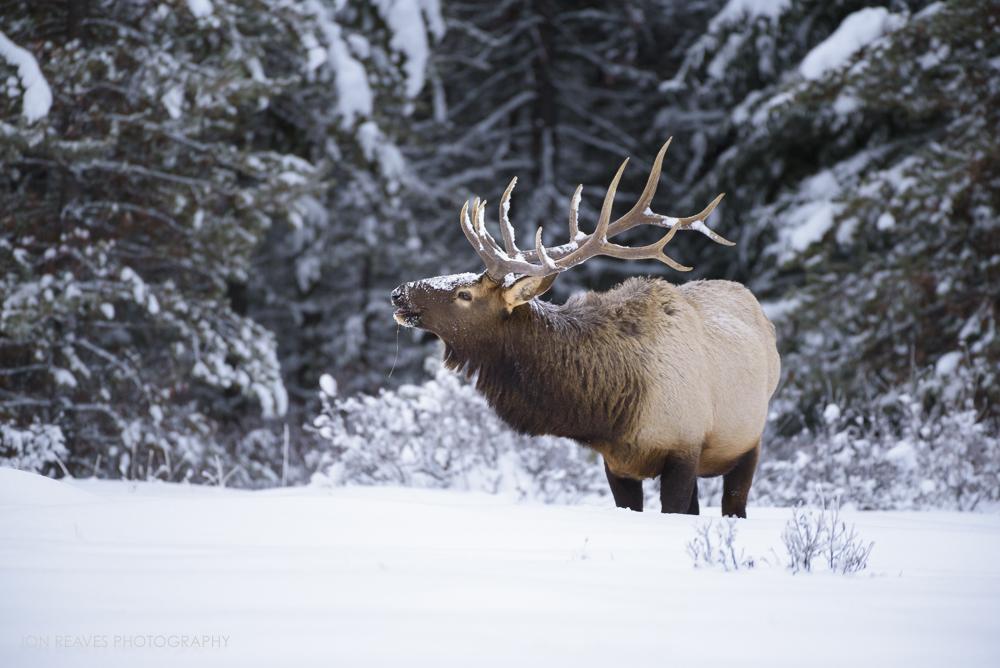 Elk in snow, Banff National Park (Nikon D750, 200-500mm f5.6 VR, 500mm, f5.6, 1/800 sec, ISO 1800)