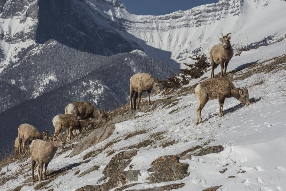 Rocky Mountain Bighorns, Canmore, Alberta