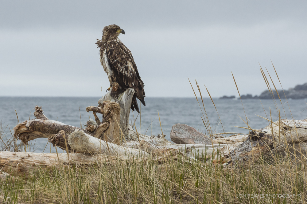 Juvenile Bald Eagle, Cape Breton, Nova Scotia