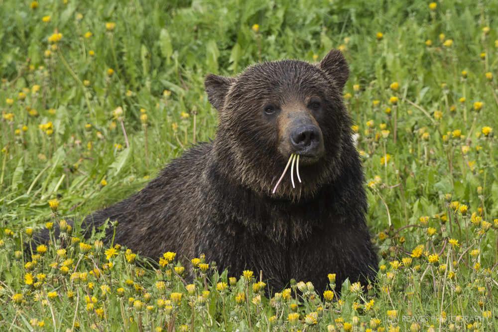 Grizzly bear feeding on dandelions, Spray Valley Provincial Park, Alberta