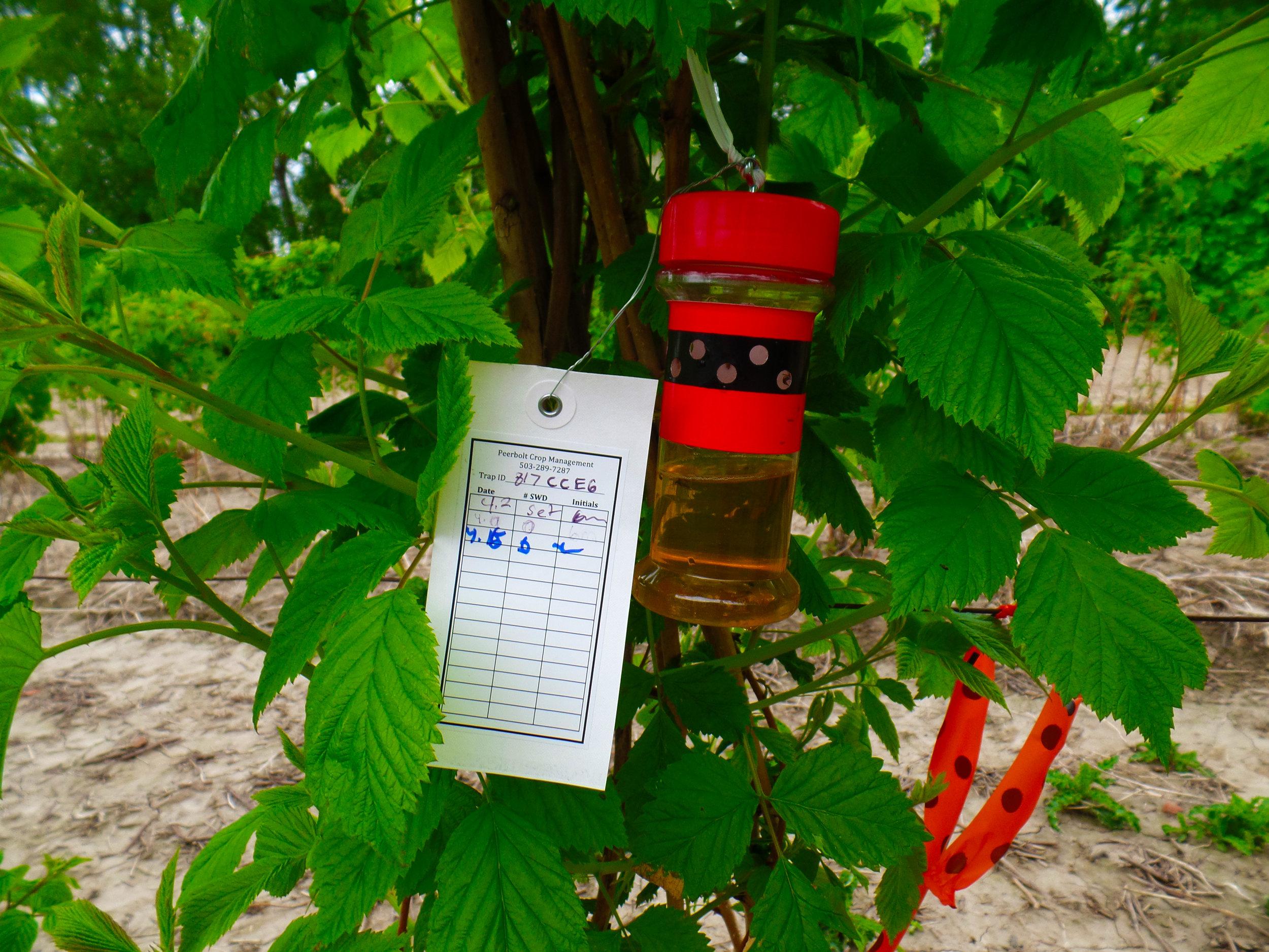SWD trap 4-16-14 in raspberry 2.JPG