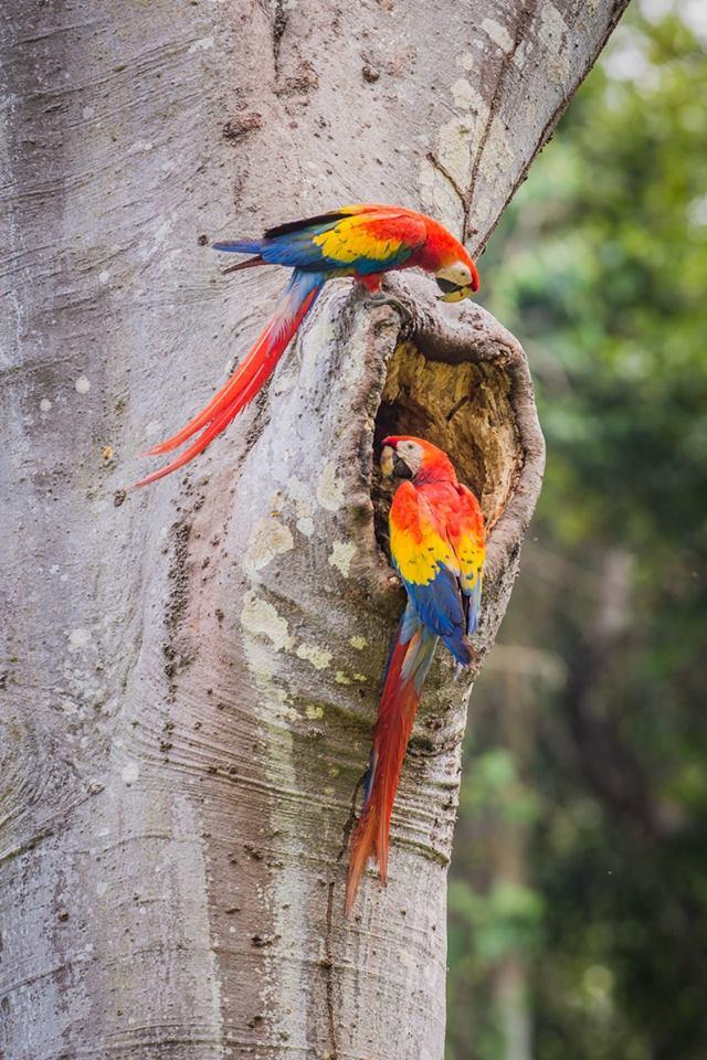 Scarlet Macaw Project Belize Bird Conservancy