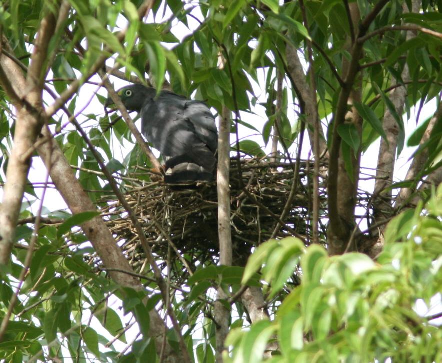 Male HBKI on nest R. Phillips 14 Aug.JPG