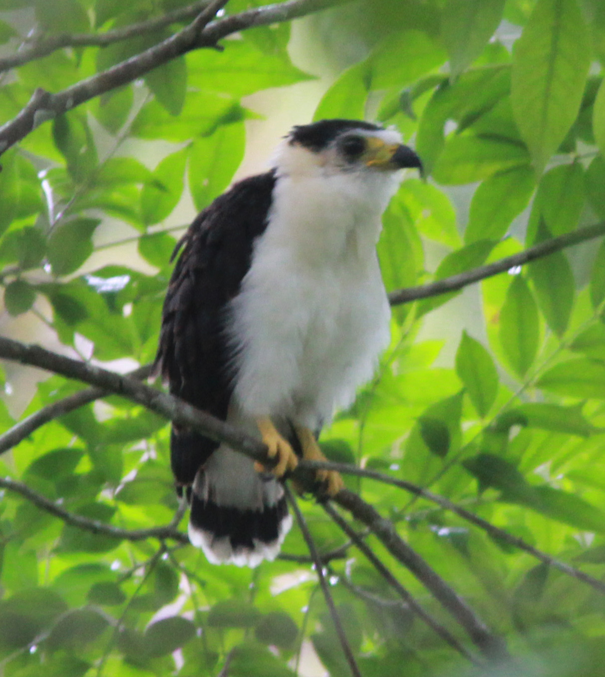 2014Fledgling Nest 2 Belize.jpg