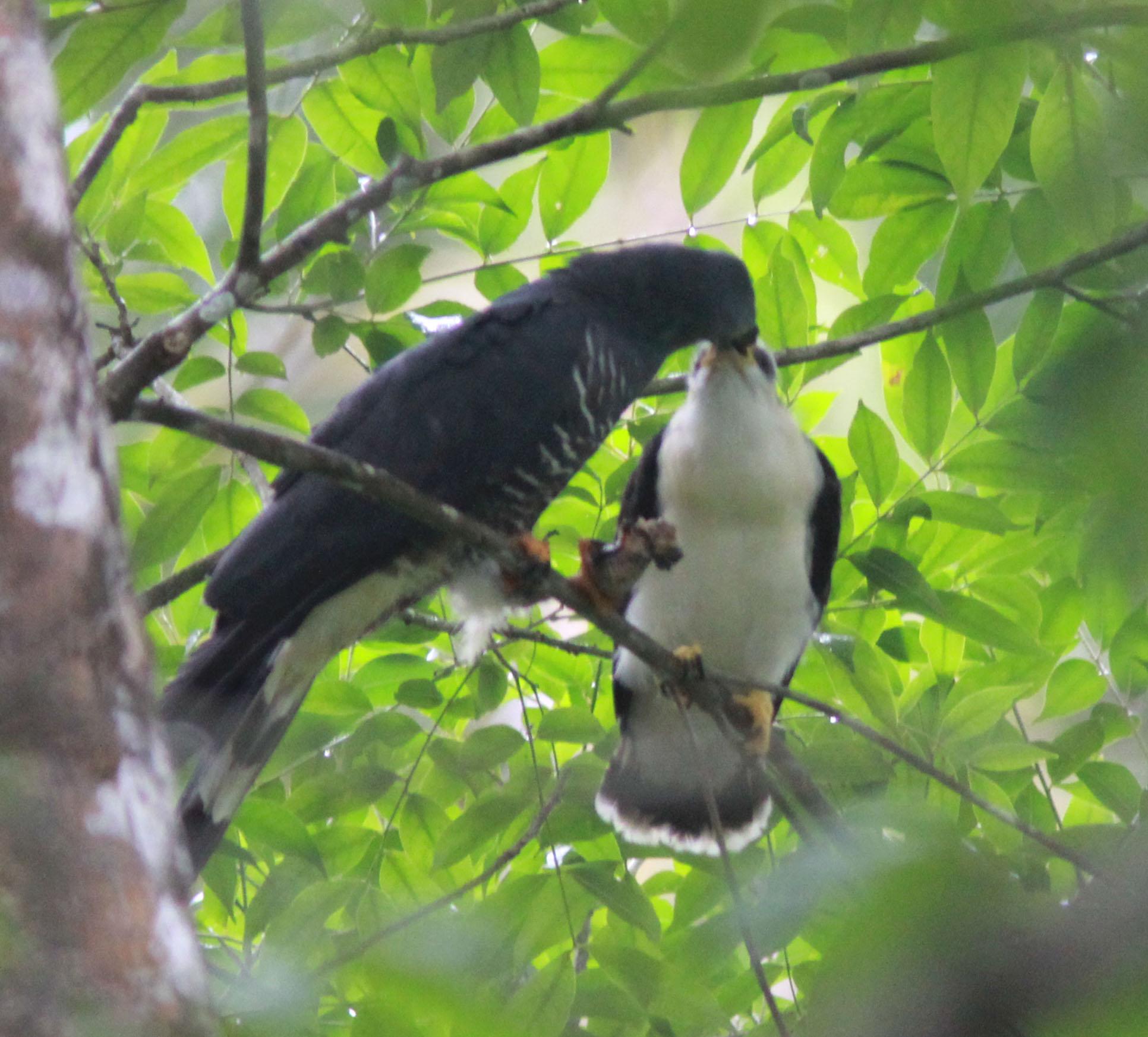 HBKI nest2 male feeding fledgling 2014.jpg