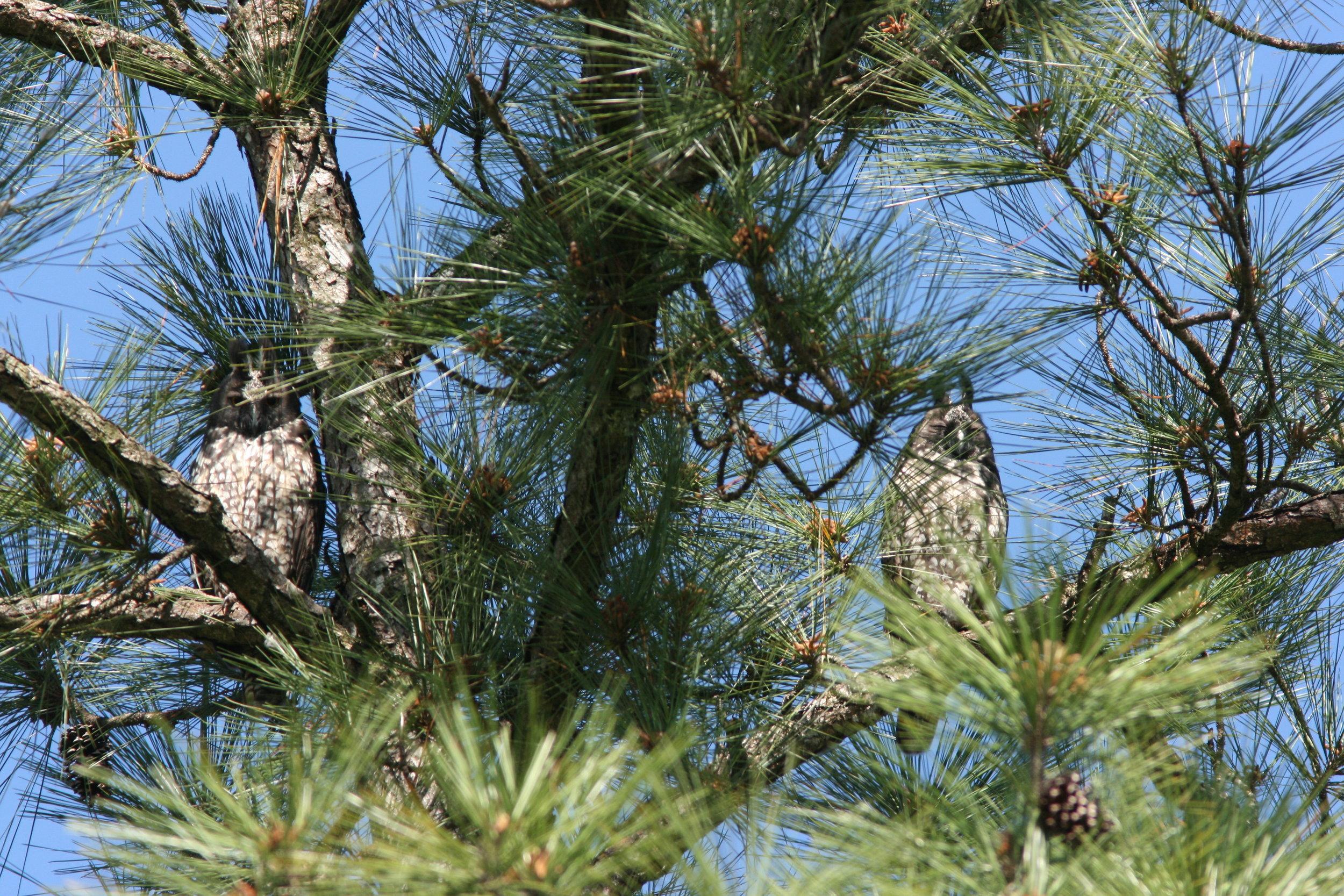 Stygian Owl Pair.JPG