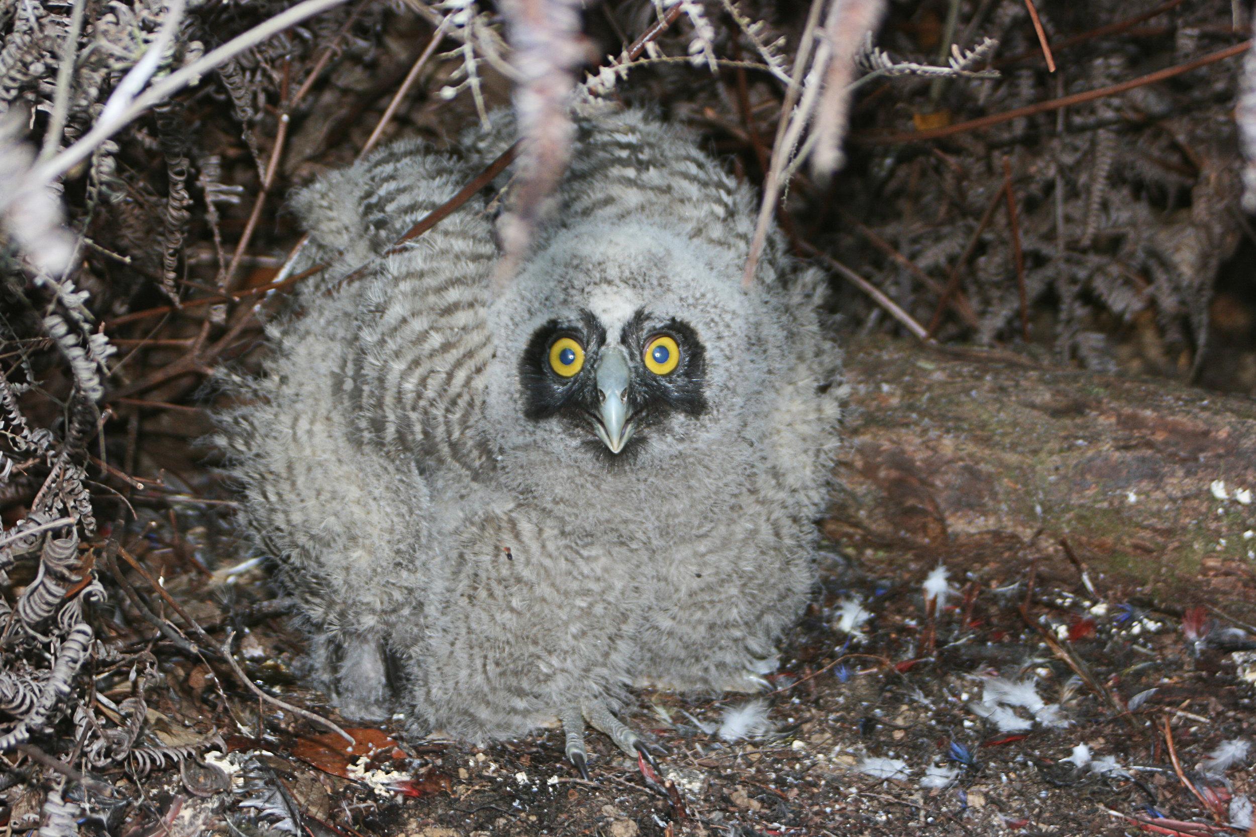 Nestling Stygian Owl.jpg