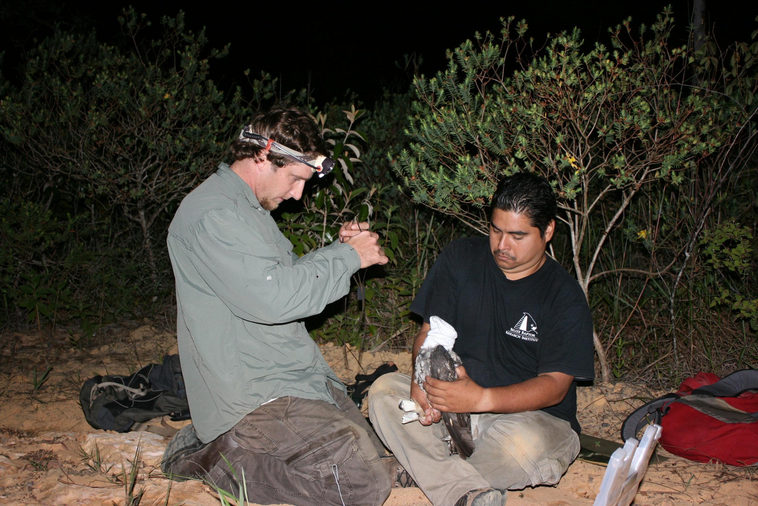 Stygian Owl Project radio tagging.JPG