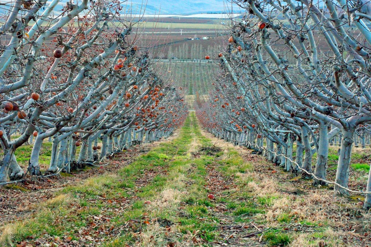 apples orchard.jpg