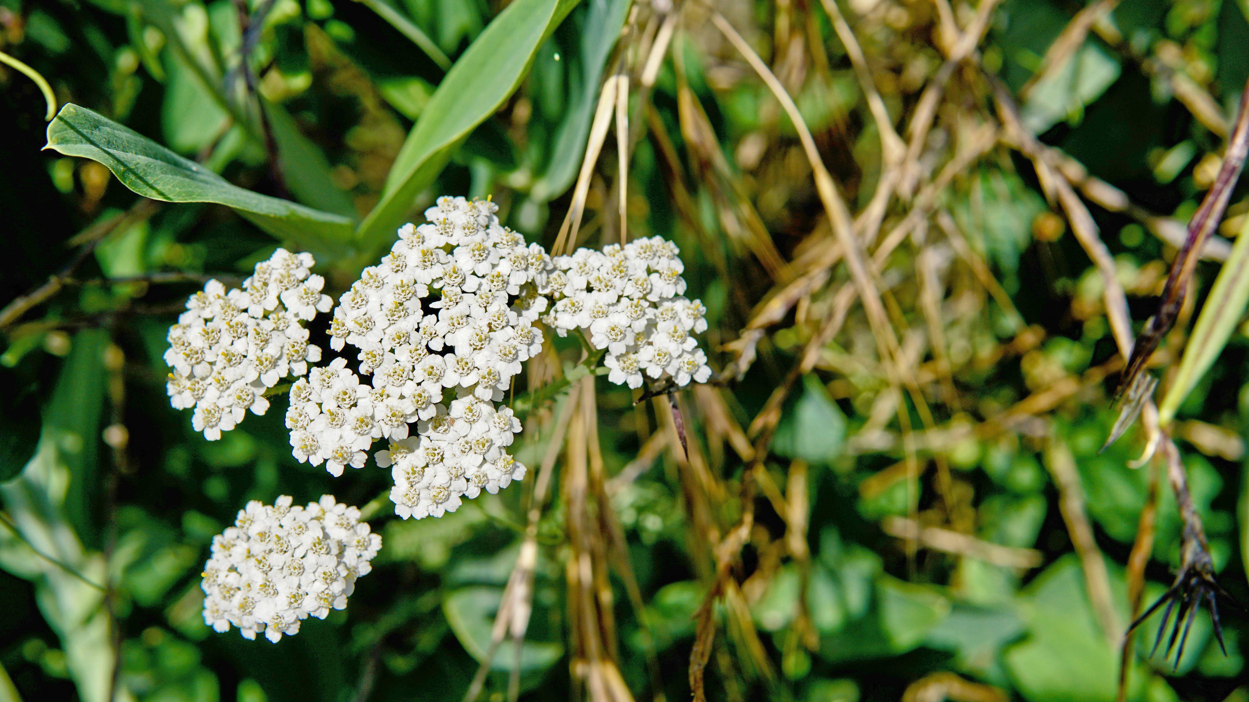 Plant Walk with Lisa Marie Holmes. Yarrow << Achillea millefolium >>